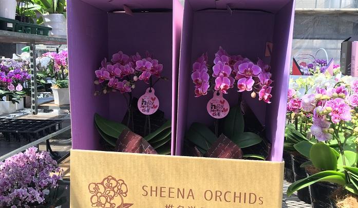 かわいい箱に入り皆様の元へ送られていきます。  このように生産されている胡蝶蘭(コチョウラン)ですが、品種はどのように作られているのでしょうか。次でその様子をお伝えします。