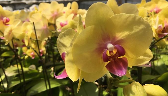 黄色い胡蝶蘭(コチョウラン)って見たことありますか? 鮮やかな黄色とピンクがワンポイントで入って元気のでるお色味です。