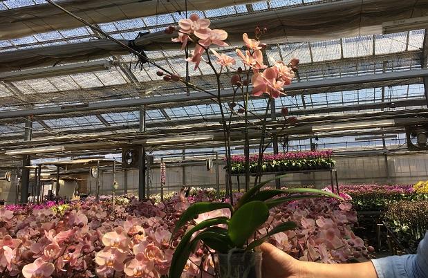 これらのランはミディー胡蝶蘭(コチョウラン)という種類で、大きさもそこまで大きくはないので気軽に飾ることができます。従来の胡蝶蘭(コチョウラン)より気軽に楽しんでほしいということから、あえて花茎を曲げず自然な胡蝶蘭(コチョウラン)の姿で販売している種類もあります。  海外ではこちらのタイプが主流だそうですよ。曲げないタイプもかわいいですね。