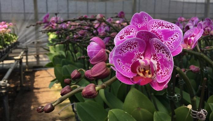 花びらの柄が個性的なこちらのラン。【ゲイシャワルツ】というユニークなお名前です。  なんと最長11カ月花がもったという記録保持者です!!