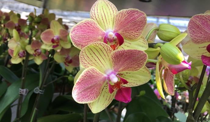 白のイメージが強い胡蝶蘭(コチョウラン)ですが、実はいろんな色があり、バリエーション豊富です。 この胡蝶蘭(コチョウラン)は日陰で管理をするとライムグリーンに色代わりするという不思議な品種。しかも最長8カ月花が持ったそうです。  長く楽しめてさらに色変わりする素敵な品種ですね。