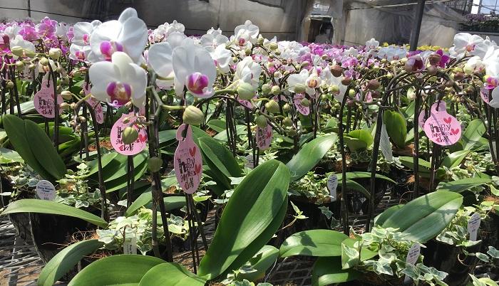 胡蝶蘭(コチョウラン)の横にアイビーが一緒に植わっている鉢もありました。