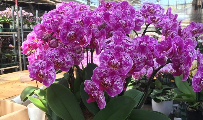 胡蝶蘭(コチョウラン)のたくさん咲いた姿は圧巻です。