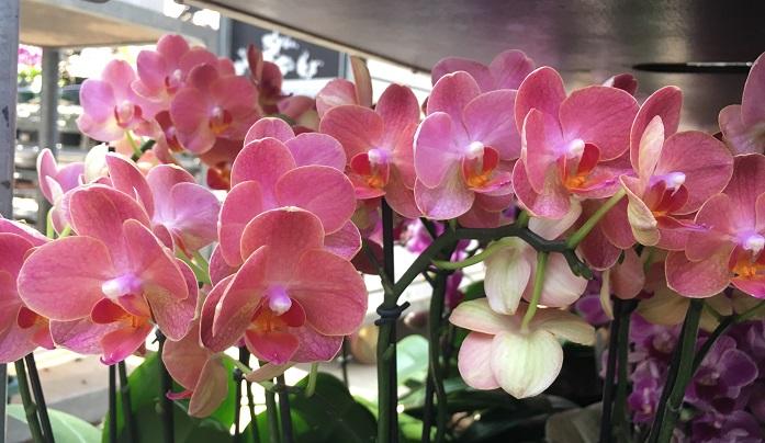 ピンクとオレンジが混ざったような色が綺麗な胡蝶蘭(コチョウラン)、よく見ると混ざっているのがわかります。