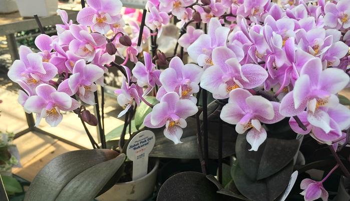 変わった花弁の形と銅葉が特徴の【サクラン】。小ぶりで桜色の花と、葉っぱの色がかっこいいランです。