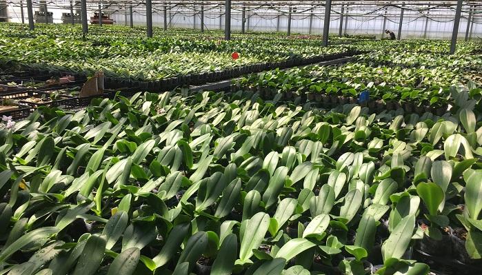 植え替えが完了した苗は28℃~35℃に保たれた温室で管理をします。湿度も高くまるで熱帯温室にいるよう。