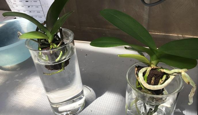 このように花瓶などに挿しても育ちます♪ 週に1度の水の入れ替えでOKです。暑い時期の水は汚れやすいので、こまめに取り換えましょう。