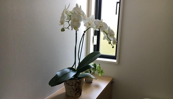 大きめの胡蝶蘭(コチョウラン)も同様、満開に。