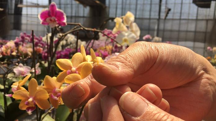 親指の先端にあるのが取り出した花粉。