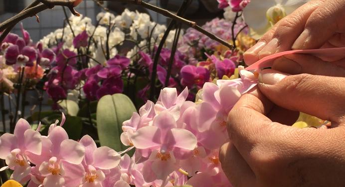 花粉が落ちないようにピンセットなど使ってきちんとはめます。