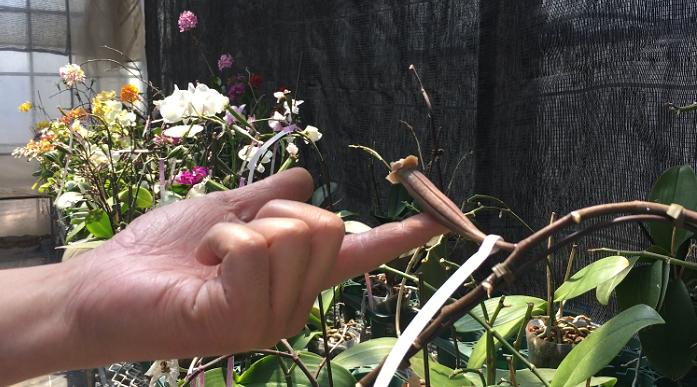無事交配できたら花の後ろが膨らみ、オクラのようなものができます。この中にたくさんの細かい種が入っているそうです。バニラビーンズを思い浮かぶと分かり易いでしょうか。