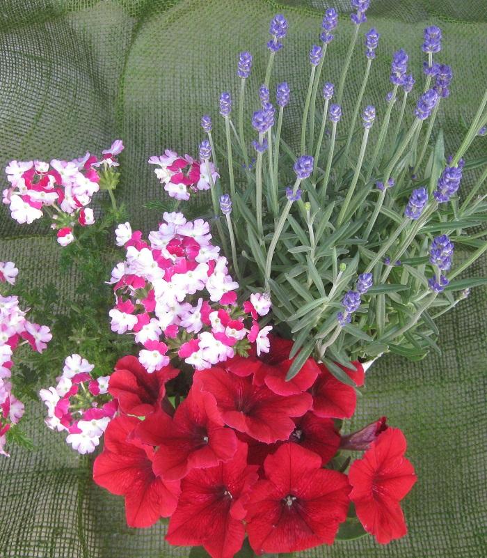 寄せ植えの苗選びで大切なポイントは大きくまとめて3つです。  1.日当たりが好きか日陰が好きか、水は多めが好きか乾燥気味が好きかなど、好きな環境が似ているものを選ぶ。  2.背の高さ、花の咲き方、花や葉の形などがそれぞれ違うけれど、全体として美しいまとまりの3種を選ぶ。  3.色のバランスを考える。