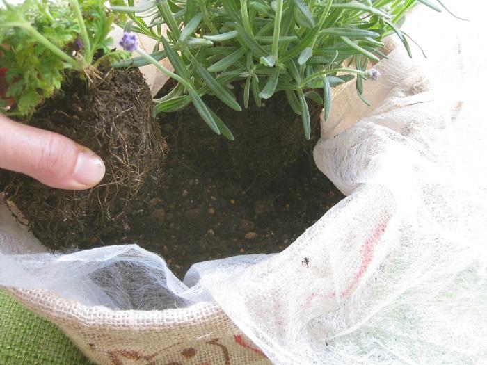苗をポットから出して、枯れた花の部分や黄色くなった葉を取り、根が固くまわっている場合は根を少しほぐして植えます。器より高く植えすぎないように、そして低くうまりすぎないように土の高さを調整します。
