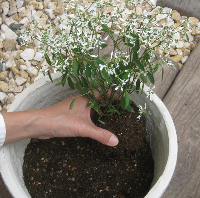 苗をポットからはずし、根がまわって固くなっている場合は根をくずしてから植えていきます。