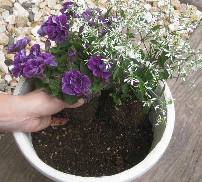 ユーフォルビアは茎が細く足元が透けて見えるので、ペチュニアを寄せ気味で植えると美しく見えます。