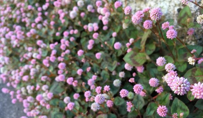 手間要らずの植物! 金平糖のような丸いお花、ヒメツルソバ(姫蔓蕎麦)の魅力 | LOVEGREEN(ラブグリーン)