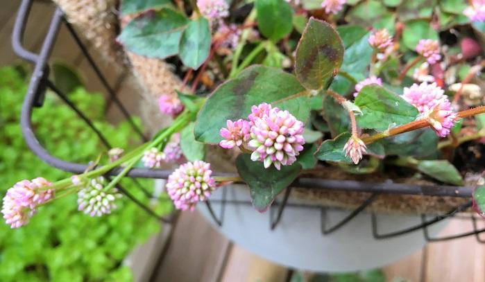いかがでしたか?昔からこの花が好きで家のベランダでも鉢植えで育てています。