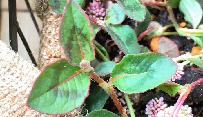 赤茶っぽい茎&緑の葉には茶色でV字の斑紋が入っていて秋になり寒くなってくると色付き紅葉します。