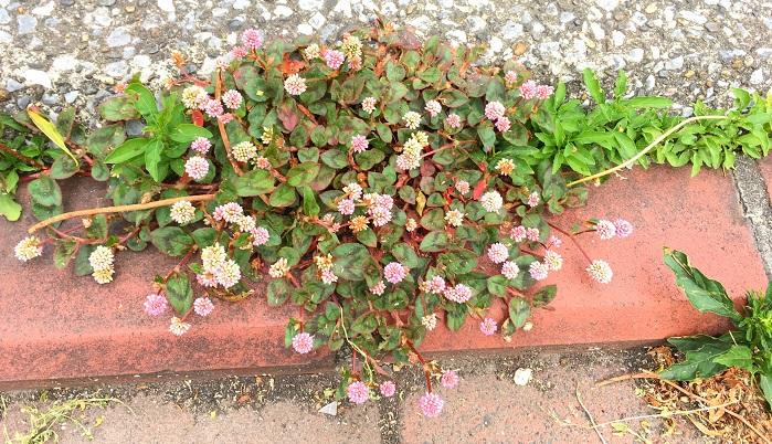 ヒメツルソバ(姫蔓蕎麦)は匍匐性の茎がコンクリートの割れ目や側溝など土がない場所でも根付き繁殖していきます。こぼれ種でも増えるので植えてなかった場所からも芽が出てくることもあります。