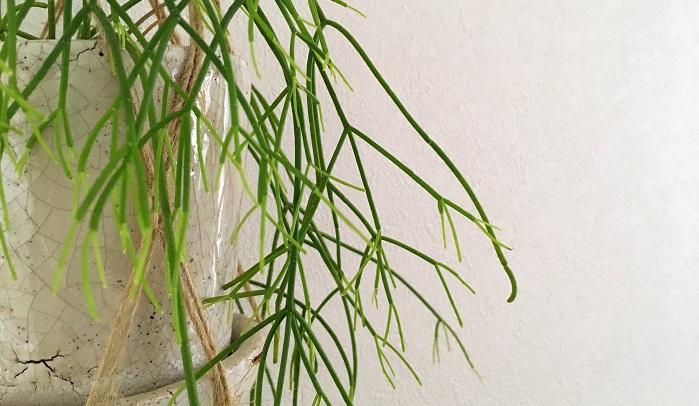 Rhipsalis cassutha  リプサリスの中でも細長い茎が特徴的です。
