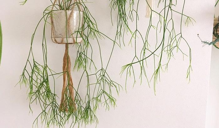 いくつにも枝分かれしながら垂れ下がるように成長します。マクラメプラントハンガーとの相性もバッチリです。