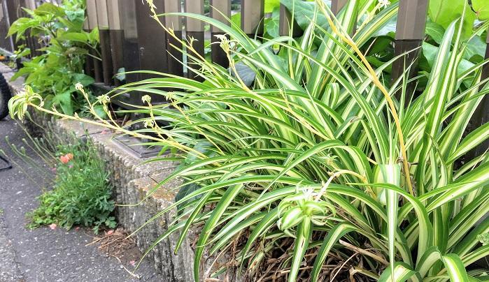 爽やかな白とグリーンの葉を持つオリヅルラン。昔から観葉植物として親しまれていて見た事ある方も多いのではないでしょうか。  観葉植物としてはもちろん玄関先など外でもすくすくと育つタフさも魅力のひとつです。夏ぐらいにはランナーが沢山出て白の花が咲いている姿をよく見かけるようになりました。
