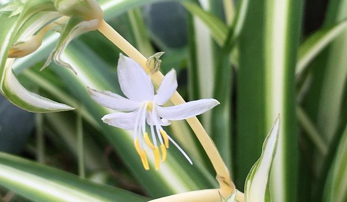 オリヅルランは白い小さな花も咲かせます。