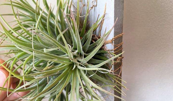 鉢に植えなくてもそのまま育てられるエアプランツですが、根元の近くに根が着生出来るような素材があればそこに誘導するような管理をしてあげると根が出てきやすいです。  エアプランツの根は活着するだけの役割だと思われがちですが、実際はエアプランツの根も養分や水を多少吸収しています。  そのため、やはり根が出てくると生育も安定し、よりすくすく大きく育ってくれるようです。先日お店で購入したエアプランツも見事に沢山の根が出ていて株もイキイキ!着生するとこんなにも違うんだなと実感しました。