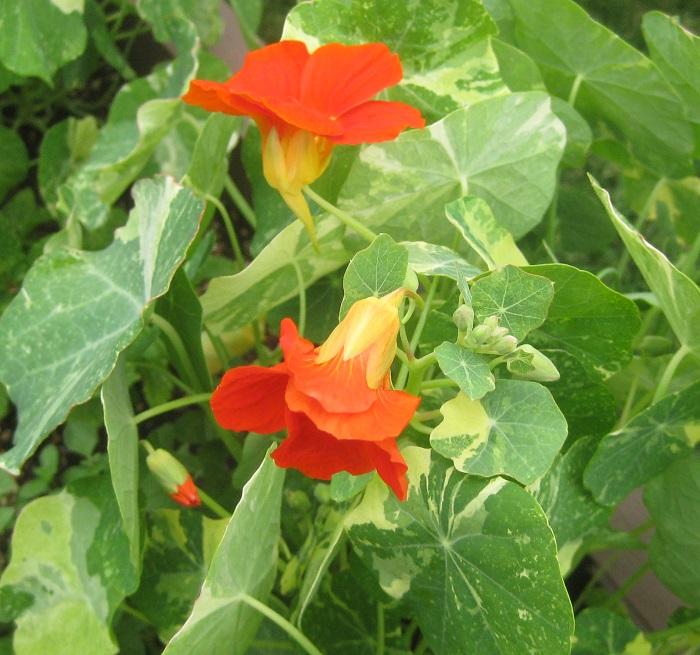 ナスタチウムは咲いたばかりの花や若い葉を生で食します。風味はクレソンに似ていて、サラダやサンドウィッチなどに添えると、ピリッとした辛味がアクセントになります。  ナスタチウムは日なたと水はけの良い用土を好みます。摘芯すると分枝が増え、ボリュームアップします。蒸し暑さに弱く、高温多湿時に花を休みますが、短めに切り戻して猛暑を乗り切れば秋に再び開花します。