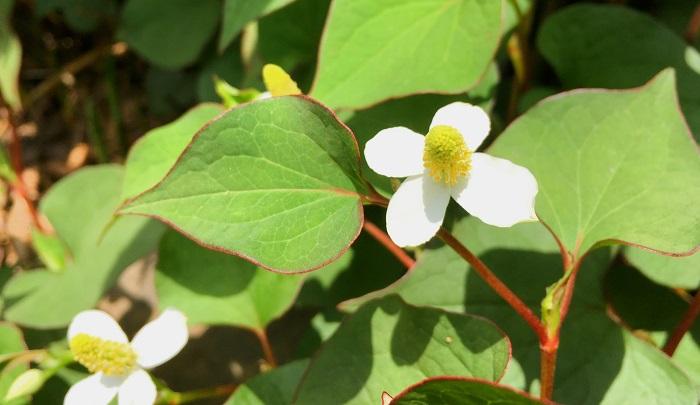 *ドクダミ科 ドクダミ属 *学名 Houttuynia cordata  ドクダミは野山や空き地、住宅周辺や道ばたなどいたる所に自生し、半日陰の場所を好みます。  ドクダミの開花期は5~7月頃。白い花びらに見える部分は総苞(そうほう)で中心の黄色い部分に小花が密生しています。