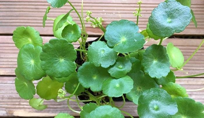 今は水草しか入れていないさみしい状態なのでウォーターマッシュルームを鉢ごと沈め入れたいと思います。購入してきたポット苗のものを鉢に植え替えます。