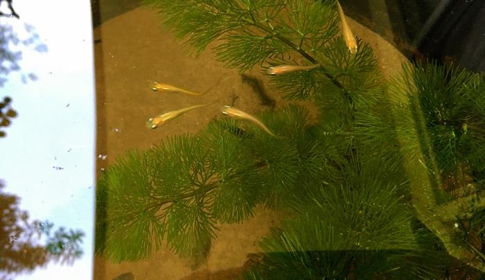 なみにこのビオトープにはメダカとミナミヌマエビ、ヒメタニシ、マシジミ、水草が生活しています。