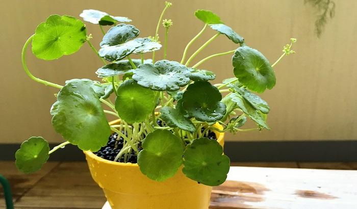 ウォーターマッシュルームは鉢植えや水苔植え、ハイドロカルチャーなど水上葉としても楽しめる他、お水の中にどぼんと入れてしまって水草としてアクアリウムでも育てる事が出来ます!ウォーターマッシュルームを鉢植えなどで育てると株が大きくなりやすく水上葉も丸い葉が5cm位まで大きくなります。水中で水草として育てる場合は水上葉より葉が小さめに展開するようです。水陸両用の植物なので使い勝手が色々ありそうですね。