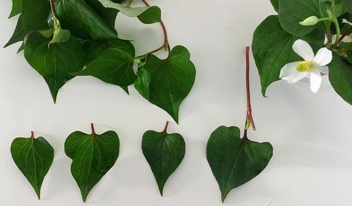 ドクダミの葉はハートの形です。(学名のcordata は「心臓形の」という意味)