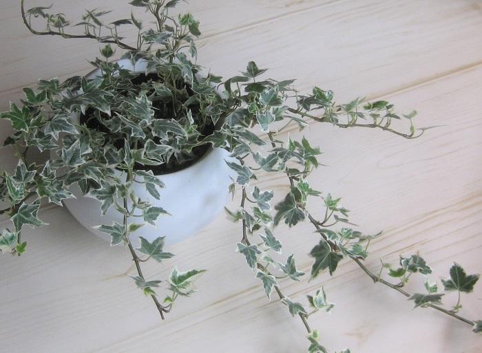 2.耐陰性のある観葉植物 アイビーは日向が好きですが、日陰で耐える力(耐陰性)がとても強いため、室内でも気軽に育てる事ができます。