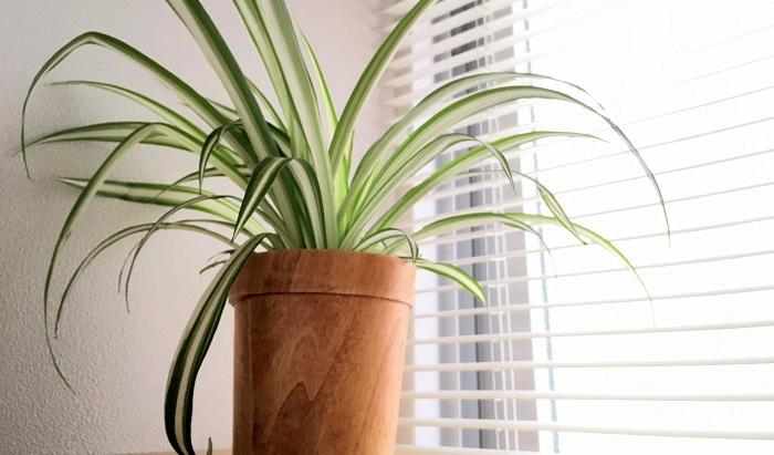 キジカクシ科オリヅルラン属の植物です。オリヅルランのオリヅルは、折り紙の鶴「折鶴」からきているそう。なぜオリヅルかというと、ランナー(匍匐した茎のこと)を伸ばした子株が折鶴に似ているからです。また、クモのようにみえることから「スパイダープラント」とも呼ばれています。丈夫で初心者の方にも育てやすい植物のひとつです。