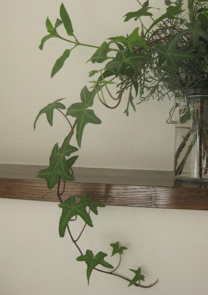 3.生花感覚でグリーンを楽しめる アイビーは、伸びた部分をカットして水を入れた花瓶に挿しておくと、生花として飾れます。水に浸かる部分の葉は取り除いておくと腐りにくくなります。しばらくすると根が出てきて土に植えて育てる事もできます。