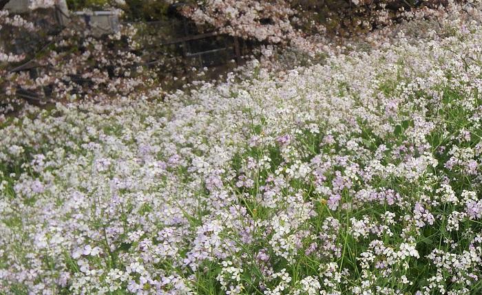 多摩川の土手沿いでこの幻想的な風景に出会いました。  爽やかに晴れて風もなく、あたり一面やわらかい花畑に包まれるようなふんわりとした空気感。白いハマダイコンの花が群生して咲き乱れ、じゅうたんのようになっています。