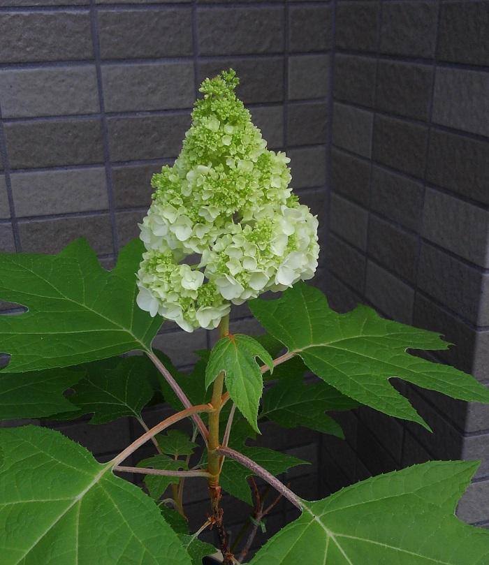もうすぐ6月。梅雨入りより一足早く、カシワバアジサイが咲いた様子です。  カシワバアジサイは、カシワの葉のような形の大きな葉と、ピラミッド形に咲く花が特徴です。花は、隙間なく密に咲きます。一重咲きの他、八重咲き品種も出回っていてとても魅力的です。