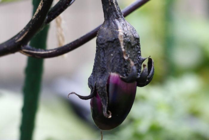 ナスの苗の草勢が低下している場合は、ナスが小さいうちに摘果してしまいましょう。草勢が戻ったら、通常の大きさまでナスを生長させ、収穫しましょう。
