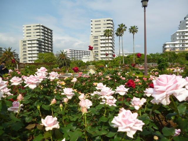 千葉県習志野市にある谷津バラ園。東京からはちょっと遠いと感じるかもしれませんね。でもじつは、遠出してでも見る価値のある大変充実したバラ園です。こぢんまりした園内には、800種類・7,500株の世界中のバラが集められています。一歩足を踏み入れれば、あふれてしまいそうなバラの色彩を楽しむことができます。