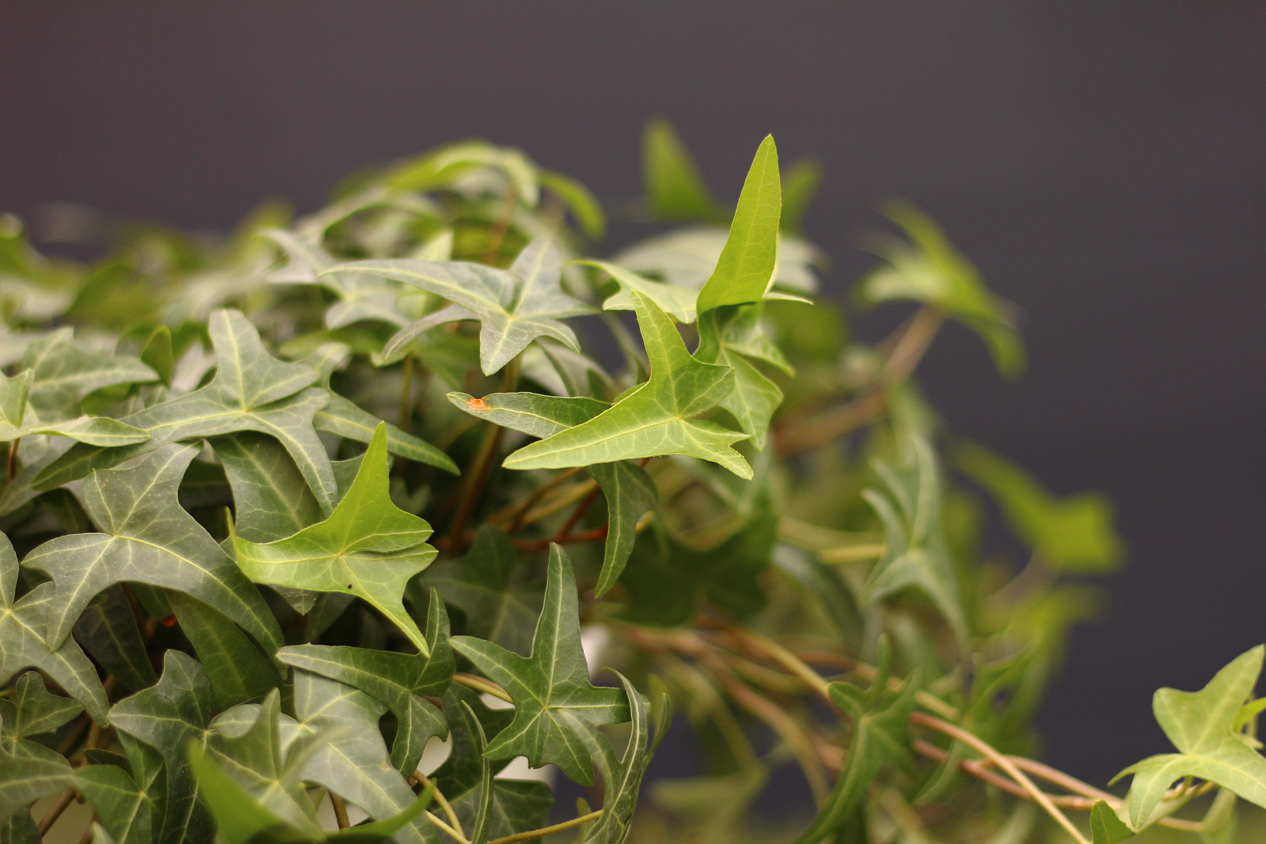 1.通年、常緑を楽しめる アイビーは、ウコギ科の植物です。常緑で周年観賞することができます。