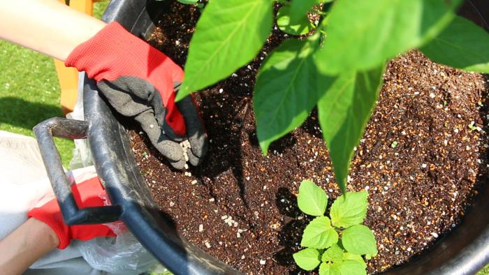 ピーマンは、肥料を好むお野菜です。植え付けて2週間後から追肥を始めましょう。その後は2週間ごとに、苗の状態を見ながら追肥をしてください。  肥料を施す位置は、葉が広がった先よりも少し先の方に施します。というのも、だいたい根の広がりというのは葉の広がりと同じくらいといわれています。そのため葉の先を目安に肥料を施します。  今回はプランターで育てているので、出来るだけ苗から離したプランターの外側に追肥をしましょう。