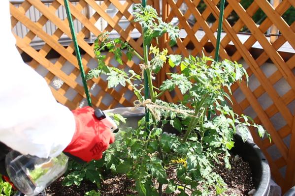 新芽の先にアブラムシはいませんか?  ミニトマトの実のまわりにタバコガの幼虫が食べた小さな穴は開いていませんか?  日頃からミニトマトの苗をよく見て確認しましょう。  予防方法として、ニーム・木酢液などの希釈液を、ミニトマトの苗にスプレーしましょう。スプレーすることで害虫を防ぐだけでなく、葉に栄養も与えることができるのでしっかりお手入れしてあげましょう。  スプレー後希釈液が余ったら、土にそのまま与えても肥料代わりとなります。