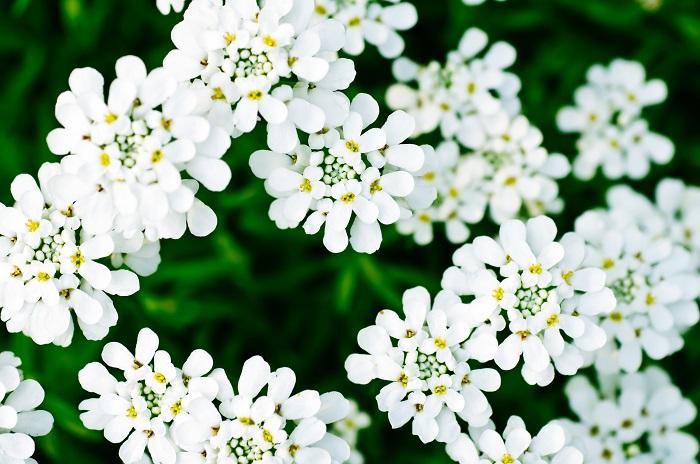 アブラナ科の耐寒性多年草。花期は4~5月で、日向と水はけの良い用土を好みます。暑さや乾燥に強く、丈夫で育てやすいですが、直根性で移植は嫌いです。  お砂糖のお菓子のようなかわいい花が株をおおうように咲きます。清楚で気品あふれる姿に魅了されます。  花言葉は、「心をひきつける」「初恋の思い出」です。