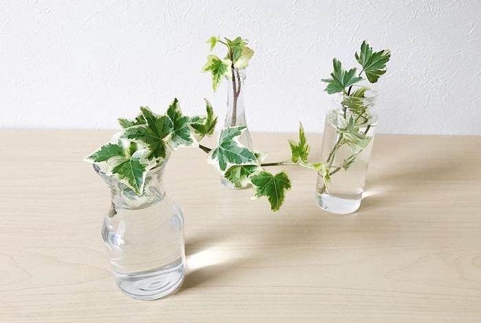 長く伸びたアイビーをカットして水に挿して置くと発根します。水耕栽培として楽しめます。