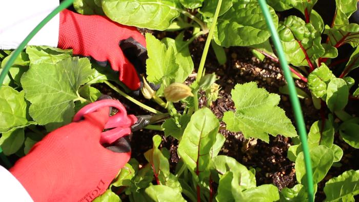 せっかく綺麗に咲いたズッキーニの雌花ですが、小さい苗の状態でズッキーニの実をつけてしまうと、苗が体力を消費してしまい生長に遅れが出てしまいます。そのため一番に咲いた雌花(一番花)を取り除きます。これを摘花といいます。