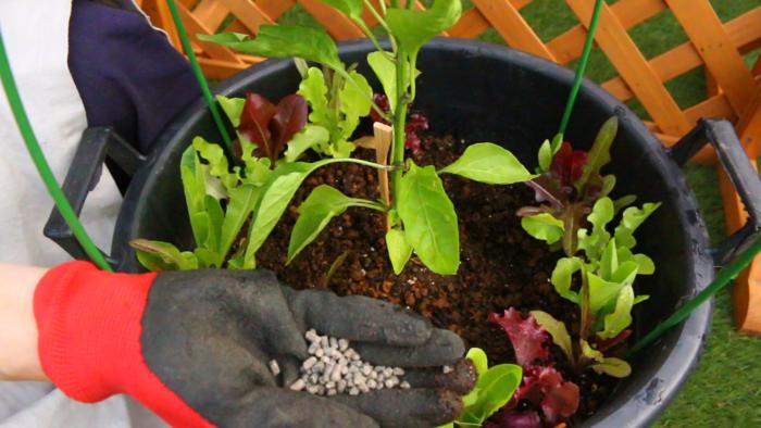 植え付けて2週間後から追肥を始めましょう。その後は2週間ごとに、苗の状態を見ながら追肥をしてください。  肥料を施す位置は、葉が広がった先よりも少し先の方に施します。というのも、だいたい根の広がりというのは葉の広がりと同じくらいといわれています。そのため葉の先を目安に肥料を施します。  今回はプランターで育てているので、出来るだけ苗から離したプランターの外側に追肥をしましょう。