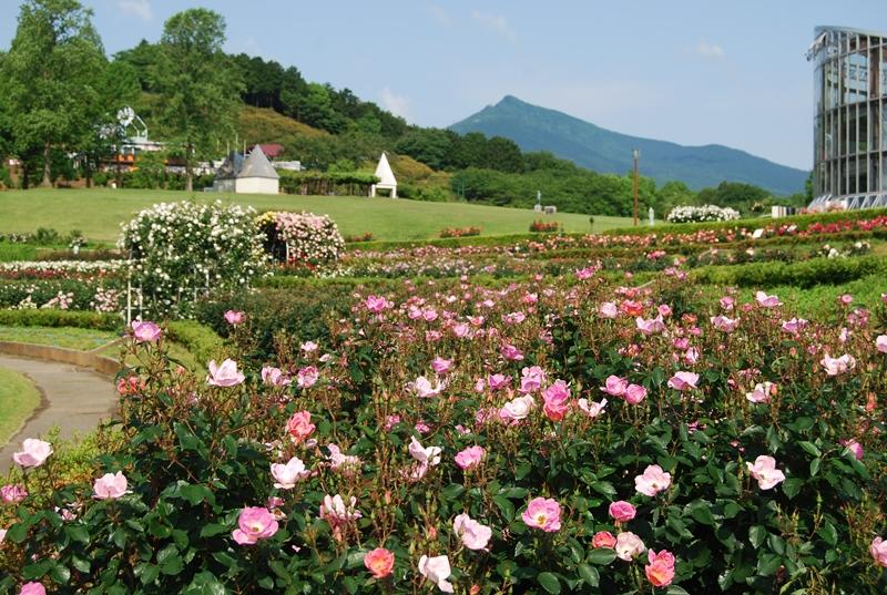 あまり混雑を気にせず、ゆったりとバラ園を楽しみたい!そんな方におすすめしたいのが、茨城県石岡市にある茨城県フラワーパークです。園内に入ってすぐ、フラワードーム(温室)を背景に広がるのは800品種30,000株の世界中のバラ。驚きの株数ですよね。このバラたちが春は一斉に開花し、多くの人でにぎわいます。