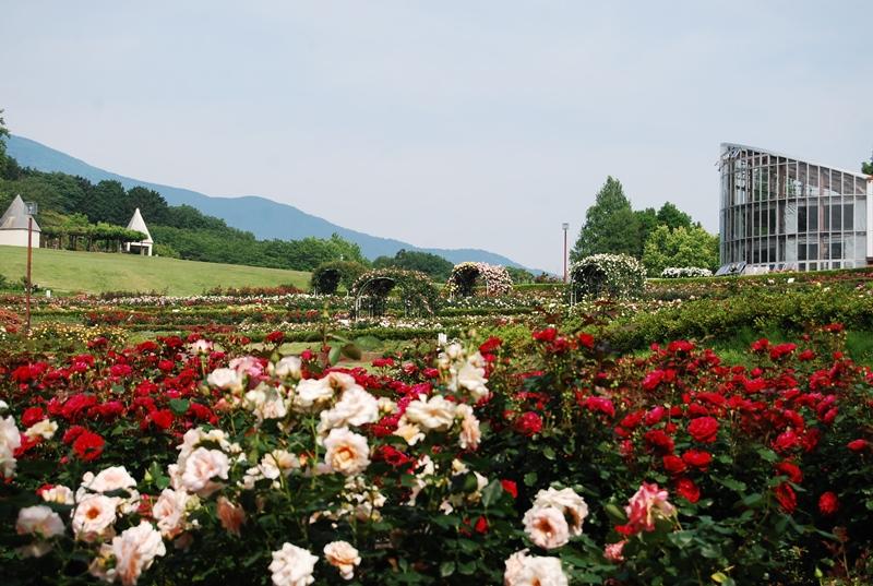 はるかに筑波山を望む園路。こういう自然のなかのバラ園は珍しいのでは?